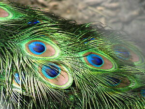 "Kayso Inc Short Real Natural Genuine Peacock Feathers Arts Crafts ""Eye"" Project"