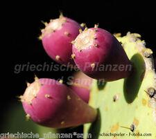 Feigenkaktus ** Opuntie*purpur gefärbte essbare Früchte 10 frische Samen Balkon