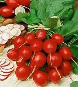 200-CHERRY-BELLE-RADISH-2019-all-non-gmo-heirloom-vegetable-seeds
