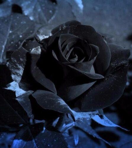 Egrow 100Pcs Black Rose Seeds Beautiful Flower Seeds Home Garden Bonsai