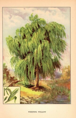 """1926 Vintage TREES /""""WEEPING WILLOW/"""" GORGEOUS COLOR Art Print Lithograph"""