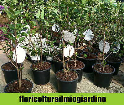 Piante di Aronia Nera - Aronia Prunifolia Viking