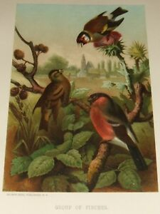 1885-Original-Group-of-Finches-Chromolithograph-by-Louis-Prang-amp-Co-Boston