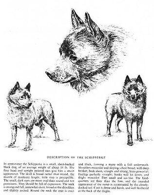 Matted P//L Briard Dog Art Print