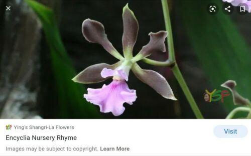 Encyclia Nursery Rhyme X Encyclia rufa Bare Root Orchid Plant Sm