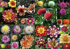 25 Samen  Dahlia Bunte Mischung Kaktus-,Pompon-, Garten- und Halskrausendahlien