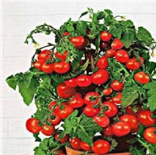 Minibel Gemüse Tomate Wirtschaft 12 Samen