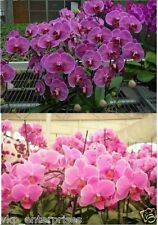 Butterfly Phalaenopsis Orchids 20 Seeds Multi Mixed Species USA Seller Free Ship