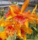 Nano Hybrid Orchids Plants: Blc Copper Queen 5