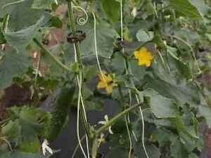 50-Tomaten-Gurken-Auberginen-Clips-Tomato-cucumber-vegetable-paprika