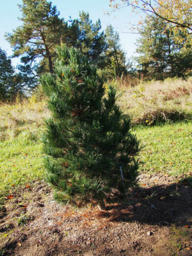 Zirbelkiefer  150 Samen  Pinus Cembra  Arve  arbe  Zirbe  Pinie Zirbel Kiefer