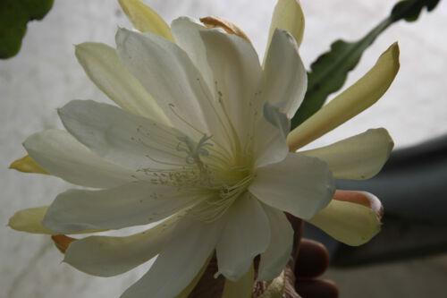 "Epiphyllum blattkakteen epicactus /""oride/"" esqueje"