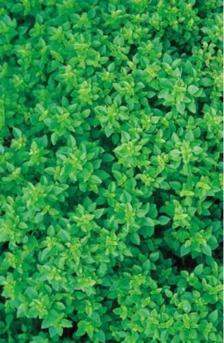 Large 3750 Seeds Herb Organic Basil Greek
