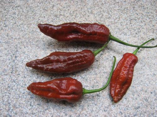 Fatalii Brown 1000 graines ** RARE ** Fatali Chili Chili graines Bulk Seeds