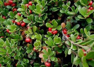 Gayuba, Arctostaphylos uva-ursi, las semillas (comestibles, Hardy ...