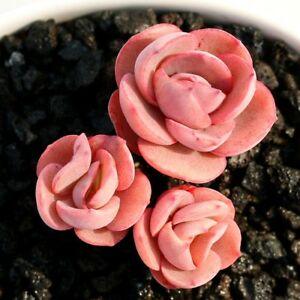 Succulent-Live-Plant-Echeveria-Sunyan-Gather-Multiple-Home-Garden-Rare-Plant
