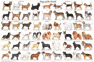 DOG BREEDS POSTER (61x91cm) VETERINARY EDUCATIONAL WALL CHART DIAGRAM LICENSED