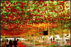 50 Pcs Seeds ITALIAN TREE TOMATO Bonsai Trip L Crop Plants Free Shipping NEW S L