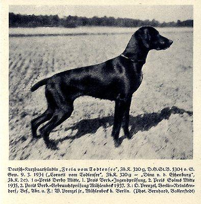 Freia Vom Todtensee Deutsch-kurzhaarhündin Jagdhunde & Züchter 1930-40
