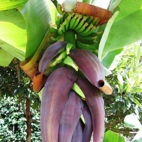 Musa Raja Puri 25-30 cm seltene winterharte Fruchtbanane Pflanze