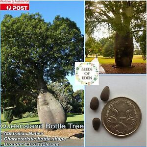 10-QUEENSLAND-BOTTLE-TREE-SEEDS-Brachychiton-rupestris-Great-feautre-tree