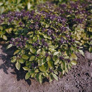 Basil-Seeds-50-Basil-Patio-Rascal-Herb-Seeds-Ornamental-Basil