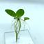 Plantes-flottantes-Combo-Hydrocharis-des-grenouilles-rouge-Racine-Flottant-Eau-Laitue-l-039-eau miniature 6