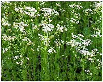 CORIANDER 'Fiesta Green' 60 seeds Herb garden