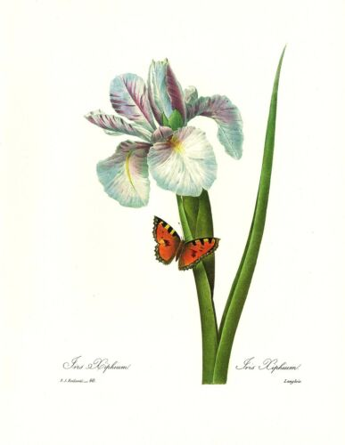 1991 Vintage REDOUTE FLOWER #60 SPANISH IRIS XIPHIUM BUTTERFLY Color Lithograph