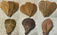 100-Seemandelbaumblaetter-10-20cm-lose-Terminalia-Catappa-Leaves-echter-BESTPREIS Indexbild 2