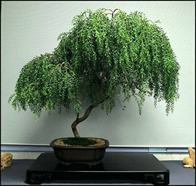 Bonsai Tree Dwarf Weeping Willow Live Plant Best Gift