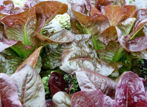 French Heirloom 500 Rouge d/' Hiver Lettuce Seeds 2018 Seeds $1.69 Max Ship.