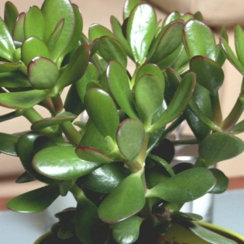 OFFER TO CLEAR STOCK CRASSULA OVATA JADE LARGE PLANT IN 1-2 LTR POT