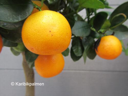 Citrus mitis Kalamondinorange Citrofortunella microcarpa Pflanze 30-50cm