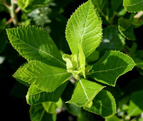 Silberkerzenstrauch Scheinheller  Clethra alnifolia  40-60 cm im Container