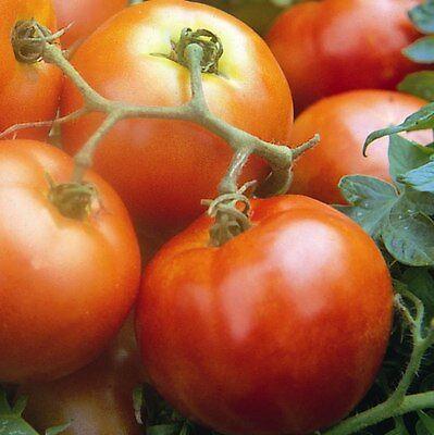 Seekay Tomate S/úper Marmande VR Vegetal Aprox 200 Semillas Beefsteak Tipo