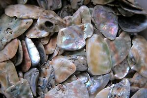 One-Tumbled-Abalone-Shell-40-50mm-Qty-1-Reiki-Healing-Crystal-Grids-Fear-Grief