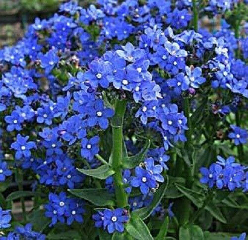100 BLUE ITALIAN ALKANET Anchusa Capensis Flower Seeds
