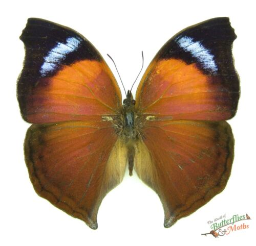 Madagascar butterfly Salamis anteva SET x1 A Male Madagascar insect #j01