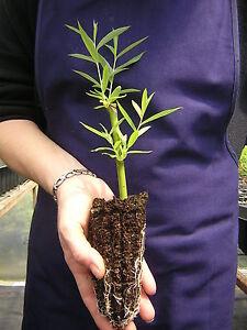 SALIX-BABYLONICA-alveolo-Salice-piangente-Peking-Willow-Babylon-Willow-pianta