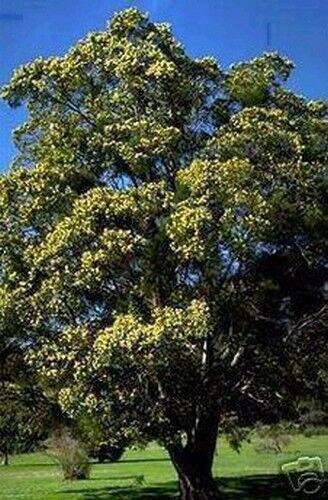 L/' albero del sonno seta acacia scorre la sera le sue foglie un!