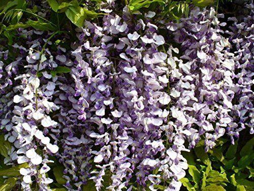 Chinesische Wisteria Blauregen Wisteria sinensis Pflanze 40cm Glyzine
