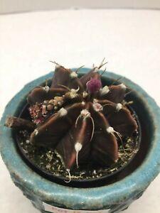 Beautiful-Gymnocalycium-mihanovichii-fredrichii-cactus-succulent-live-plant-362