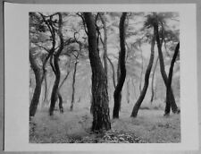 The gelatin silver print black and white photograph 245mm X 280mm korea red pine