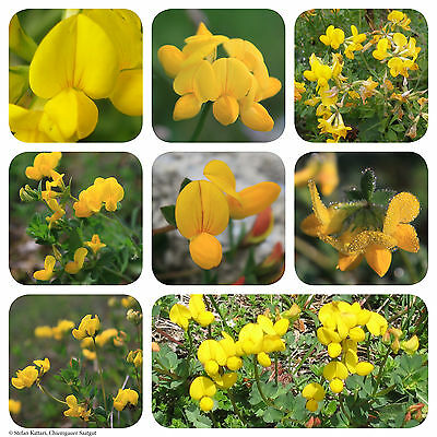 Hornklee   400 Korn Saatgut   Bienenweide   Lotus corniculatus