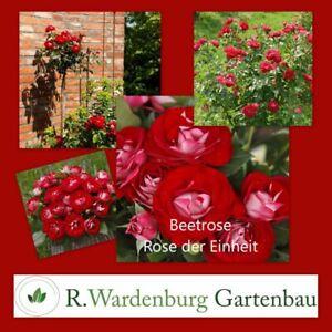 Beetrose Rose der Einheit® samtrot / silbrig-weiß - 5L Topf