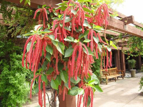 seeds Love Lies Bleeding Amaranth ornamental veggie heirloom 50