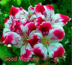 100-Pieces-De-Graines-Geranium-vivace-Bonsai-Fleurs-Plantes-Pelargonium-livraison-gratuite