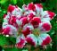 100-Pieces-De-Graines-Geranium-vivace-Bonsai-Fleurs-Plantes-Pelargonium-livraison-gratuite miniature 1