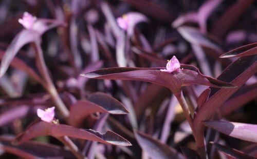 Tradescantia pallida Purple Heart Plant out//indoor Purple Wandering Jew  24 pcs
